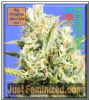Original Sensible CBD Lemon Aid Female 5 Seeds